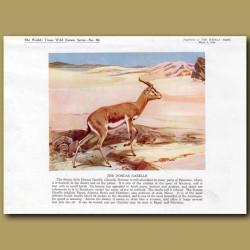 The Dorcas Gazelle