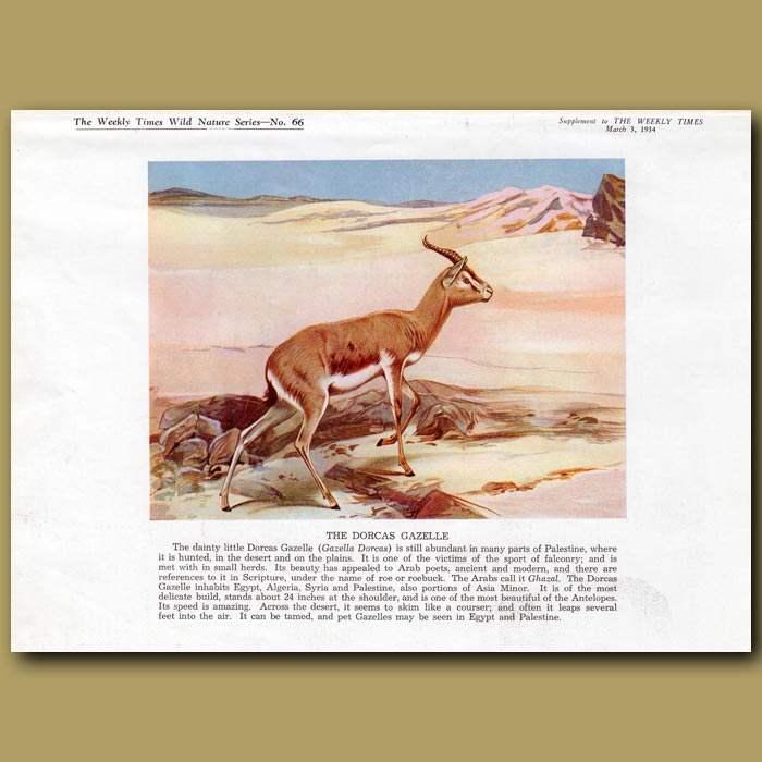Antique print. The Dorcas Gazelle