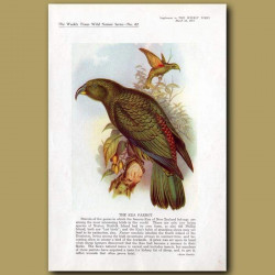 The Kea Parrot