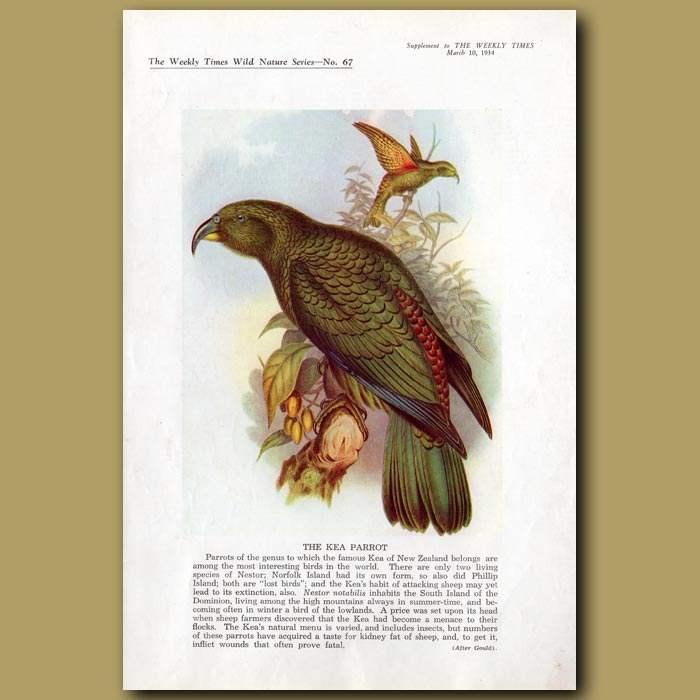 Antique print. The Kea Parrot