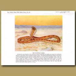 The Egyptian Cobra Or Asp