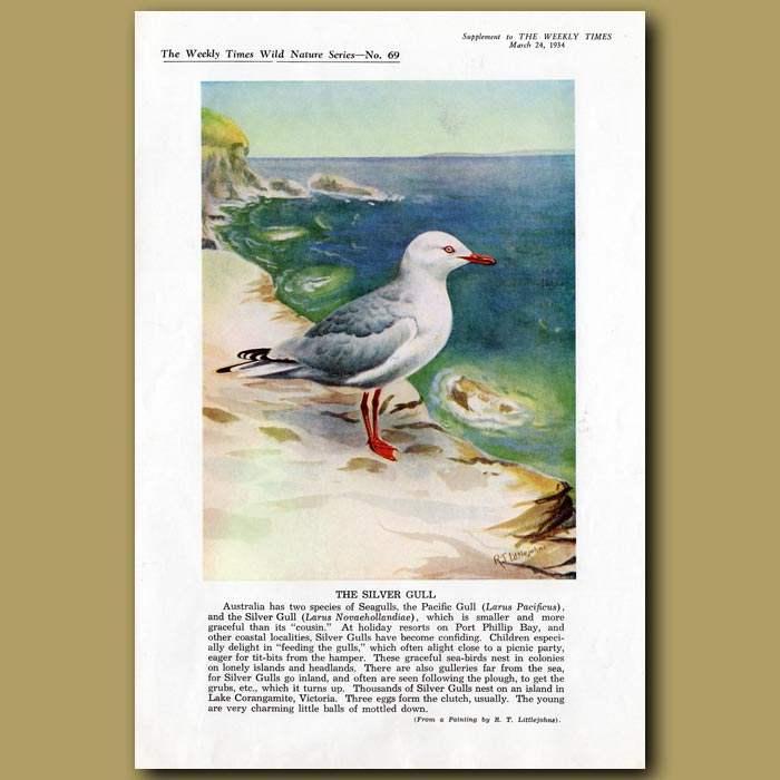 Antique print. The Silver Gull