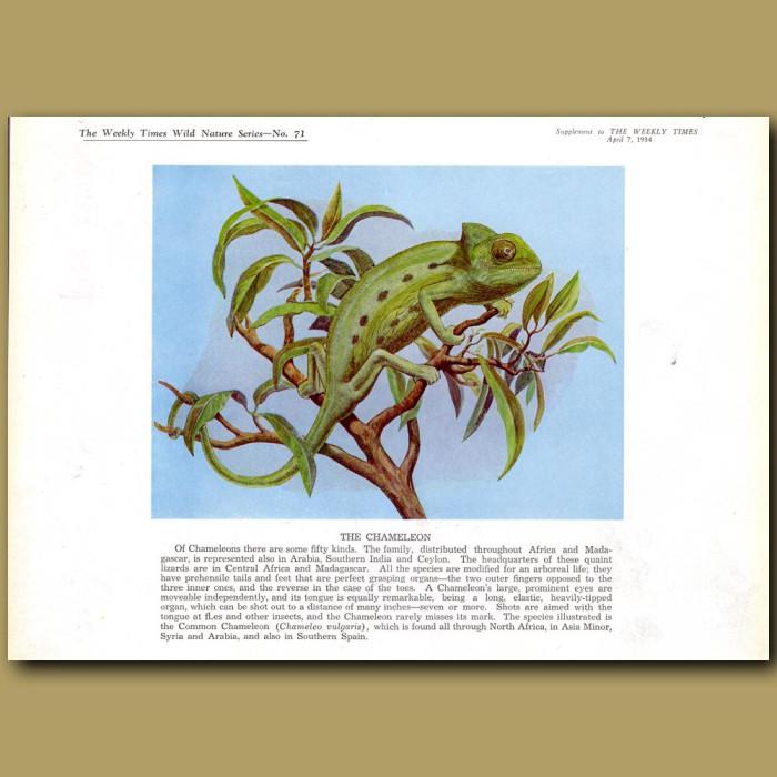 The Chameleon: Genuine antique print for sale.