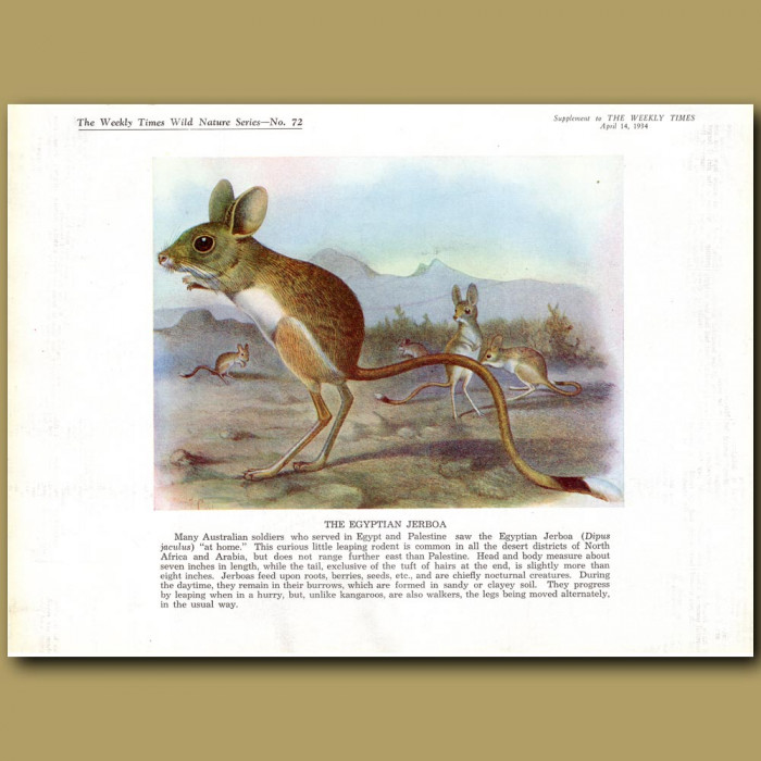 The Egyptian Jerboa: Genuine antique print for sale.