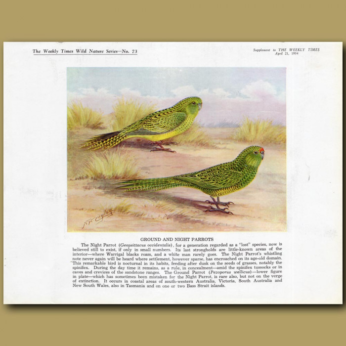 Ground and Night Parrots: Genuine antique print for sale.