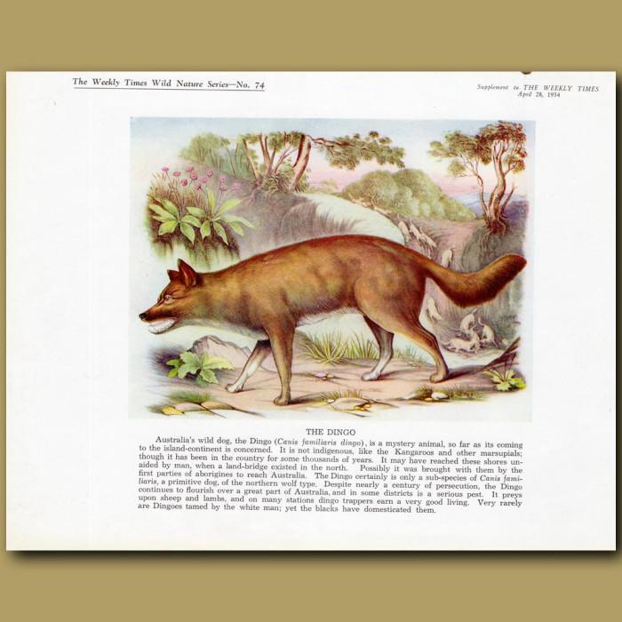 The Dingo: Genuine antique print for sale.