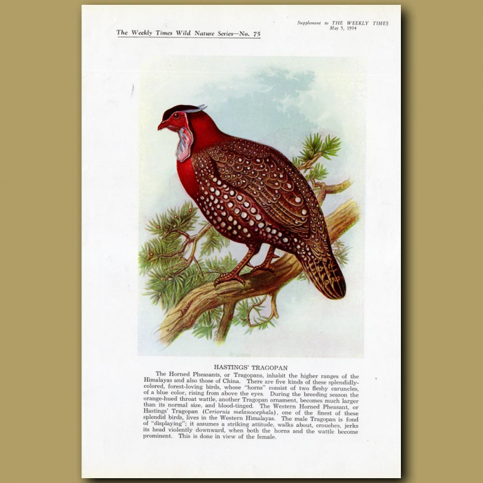 Hasting's Tragopan: Genuine antique print for sale.