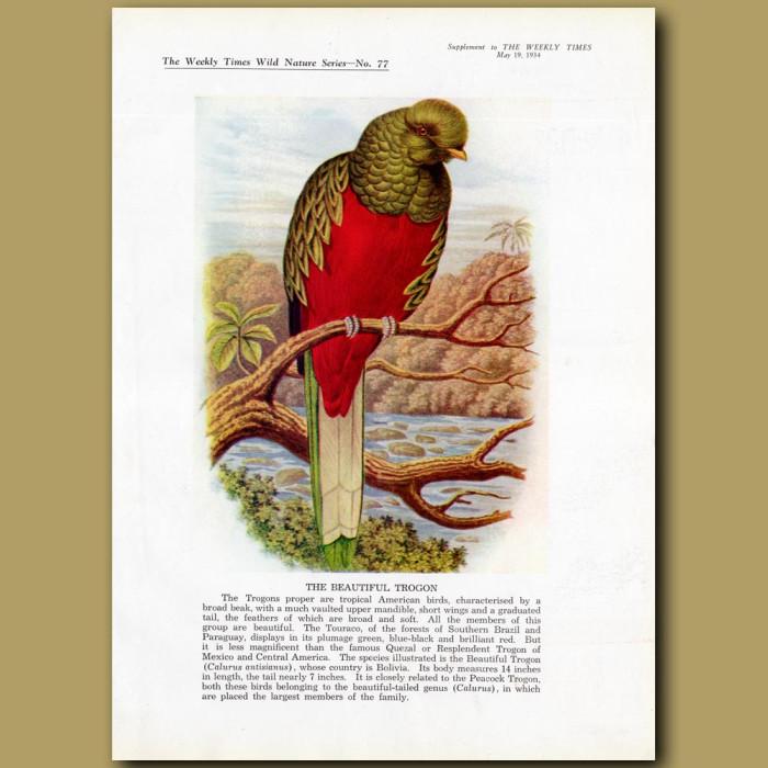 The Beautiful Trogon: Genuine antique print for sale.