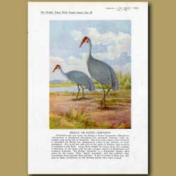 Brolga Crane or Native Companion