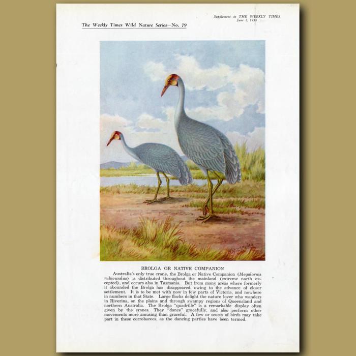 Brolga Crane or Native Companion: Genuine antique print for sale.