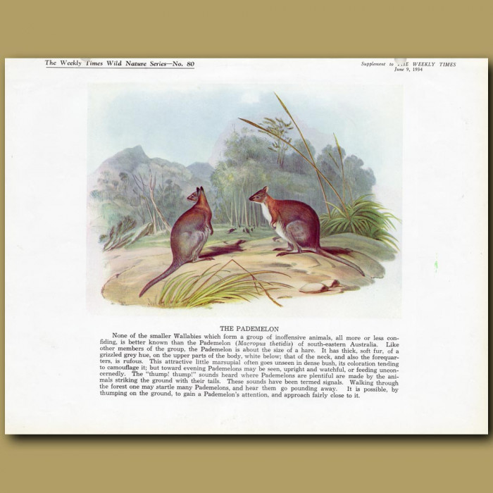 The Pademelon Wallaby: Genuine antique print for sale.