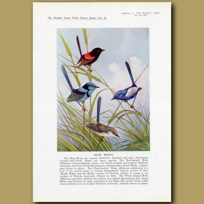 Blue Wrens. Red-backed, Black-backed, White-winged and Lovely Wren: Genuine antique print for sale.