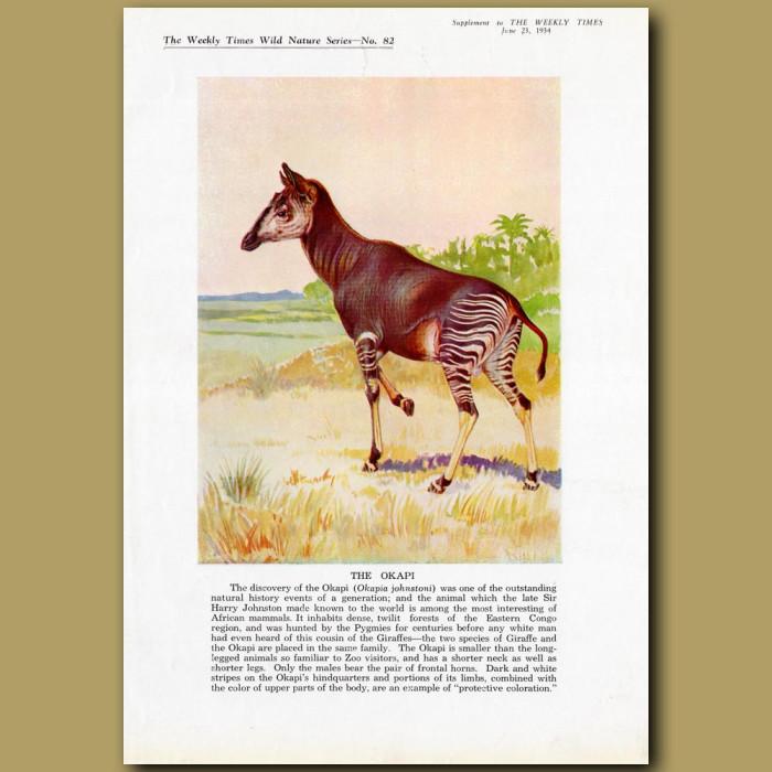 The Okapi: Genuine antique print for sale.