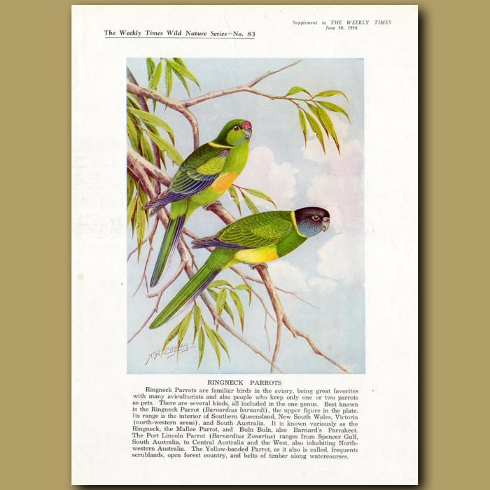 Ringneck Parrots: Genuine antique print for sale.