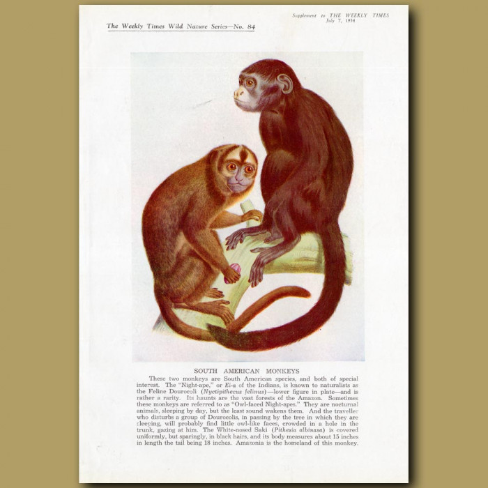 South American Monkeys. Night Ape and White-nosed Saki: Genuine antique print for sale.
