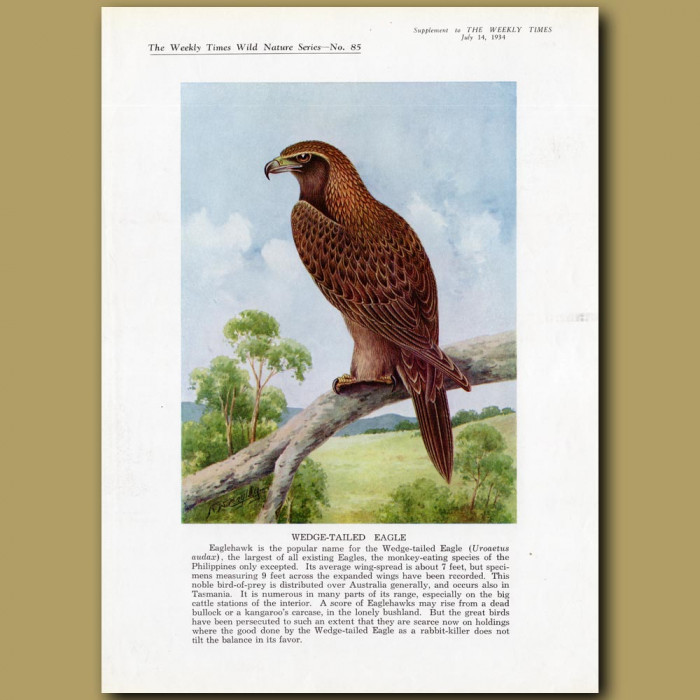 Wedge-tailed Eagle: Genuine antique print for sale.