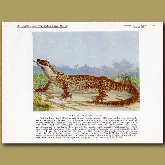 Gould's Monitor Lizard: Genuine antique print for sale.