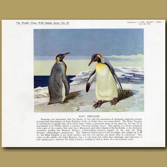 King Penguins: Genuine antique print for sale.