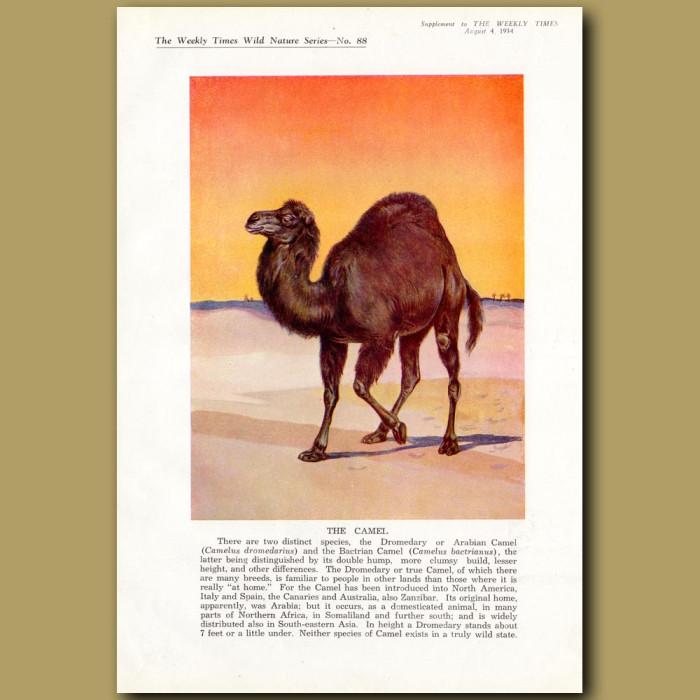 The Camel: Genuine antique print for sale.