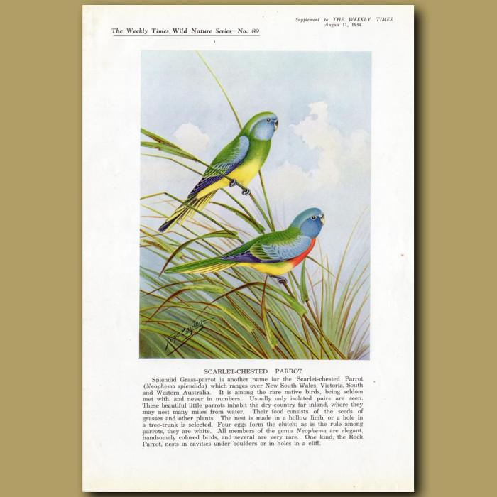 Scarlet-chested Parrot or Splendid Grass-parrot: Genuine antique print for sale.