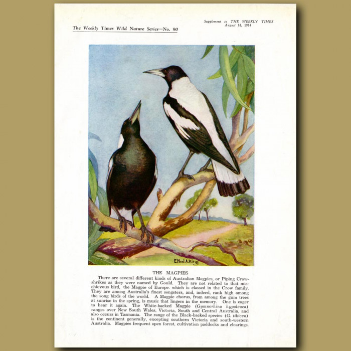 The Australian Magpies: Genuine antique print for sale.