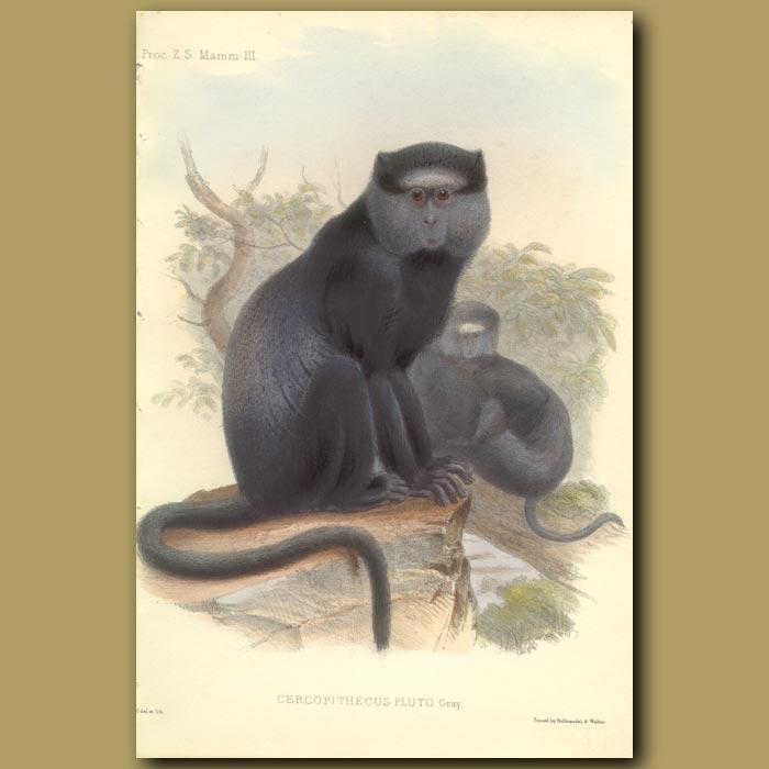 Antique print. The Blue Monkey