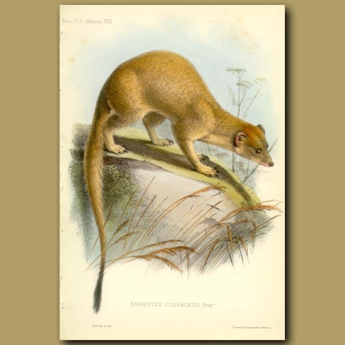 Antique print. The Somalian Slender Mongoose