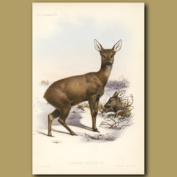 Antique print. Roe Deer