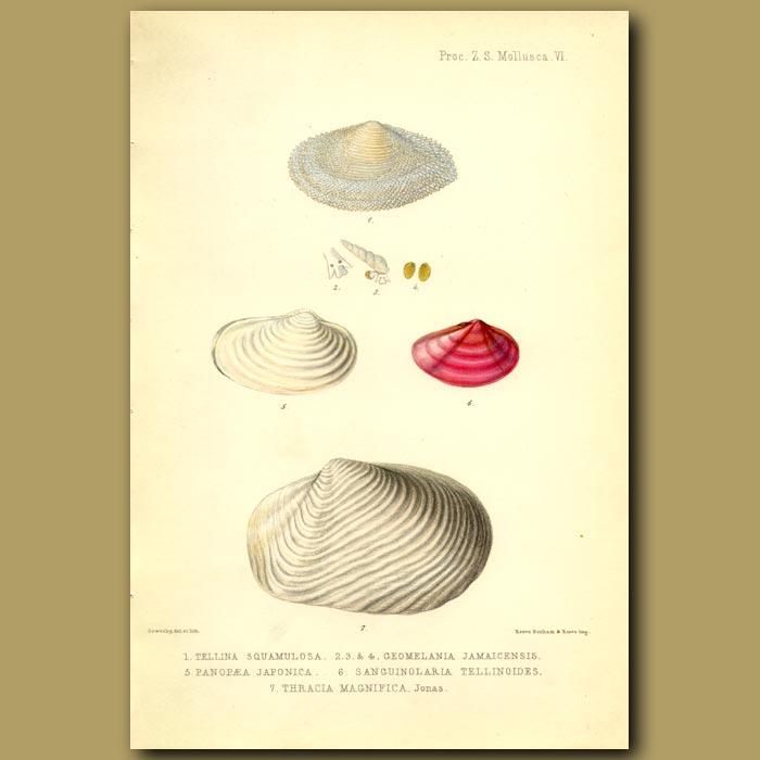 Antique print. Seashells
