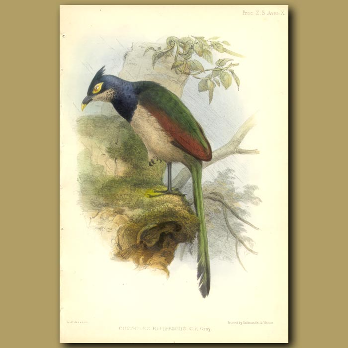 Antique print. Rufous-winged Ground-cuckoo