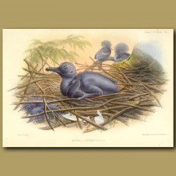 Hybrid Crown Pigeon And Chick From Malaysia