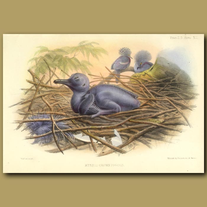 Antique print. Hybrid Crown Pigeon And Chick From Malaysia