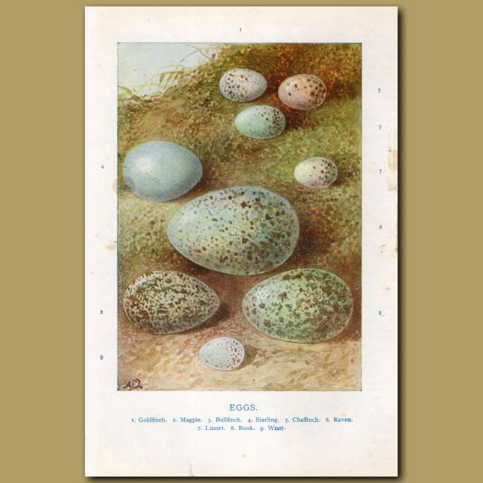 Eggs – Goldfinch, Magpie, Bullfinch: Genuine antique print for sale.