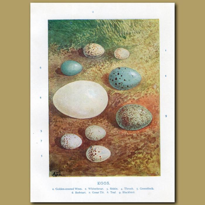 Eggs – Golden-crested Wren, Whitethroat: Genuine antique print for sale.