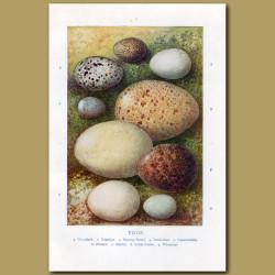 Eggs – Woodlark, Nightjar, Stormy Petrel