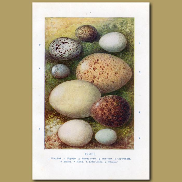 Eggs – Woodlark, Nightjar, Stormy Petrel: Genuine antique print for sale.