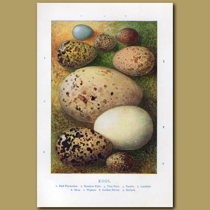 Eggs – Pied Flycatcher, Meadow Pipit, Tree Pipit: Genuine antique print for sale.