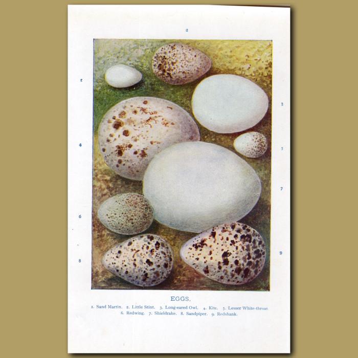 Eggs – Sand Martin, Little Stint, Long-eared Owl: Genuine antique print for sale.
