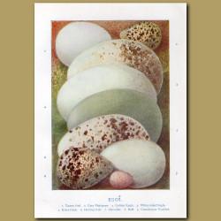 Eggs- Tawny Owl, Grey Phalarope, Golden Eagle