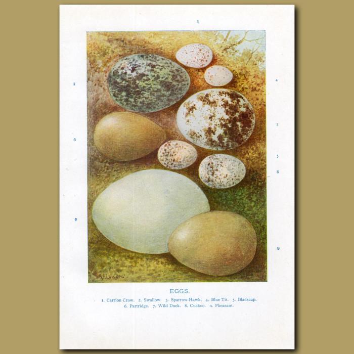 Eggs – Carrion Crow, Swallow, Sparrow-hawk, Blue Tit: Genuine antique print for sale.