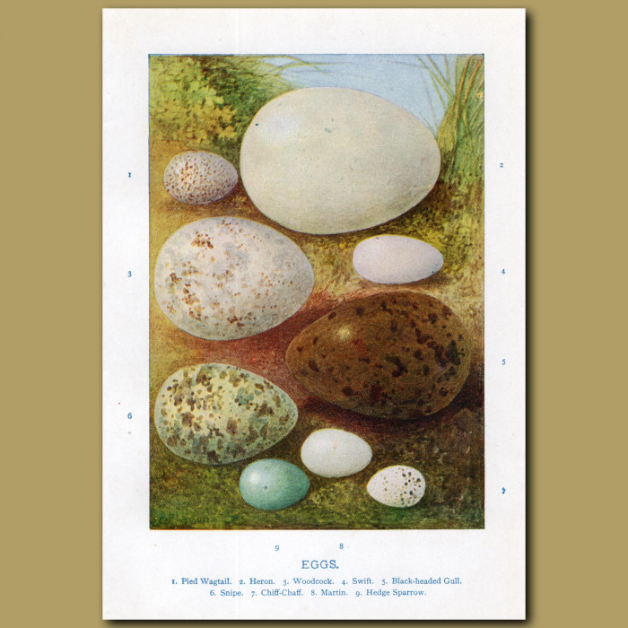Eggs – Pied Wagtail, Heron, Woodcock: Genuine antique print for sale.