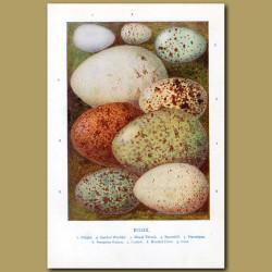 Eggs – Dipper, Garden Warbler, Missel Thrush, Spoonbill