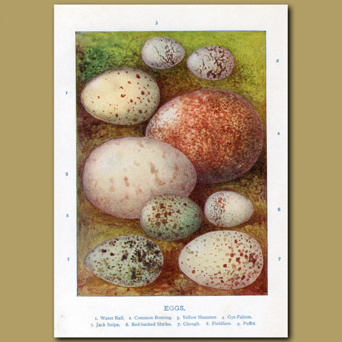 Eggs – Water Rail, Common Bunting, Yellow Hammer: Genuine antique print for sale.
