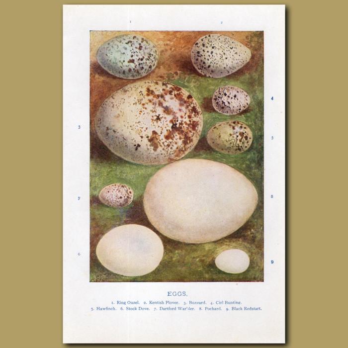 Eggs – Ring Ouzel, Kentich Plover, Buzzard: Genuine antique print for sale.