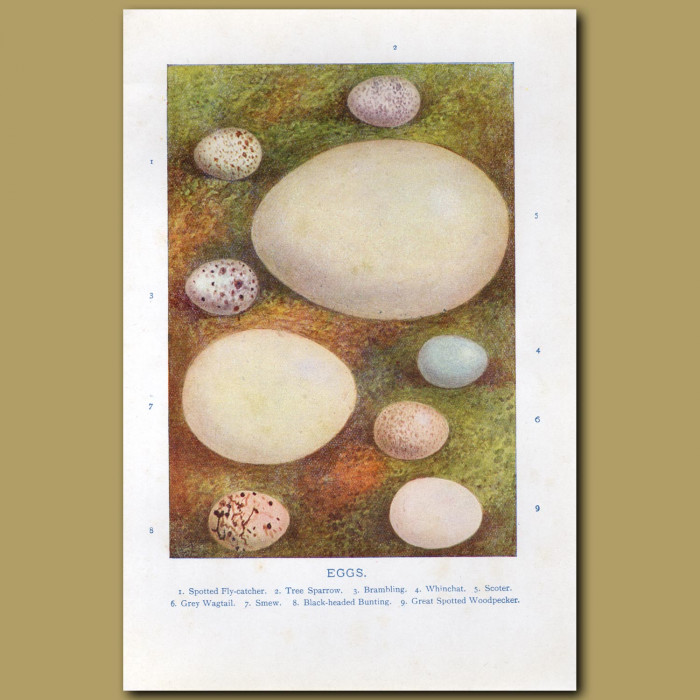 Eggs – Spotted Fly-catcher, Tree Sparrow, Bramling: Genuine antique print for sale.
