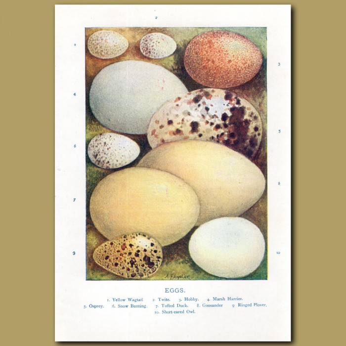 Eggs – Yellow Wagtail, Twite, Hobby, Marsh Harrier: Genuine antique print for sale.