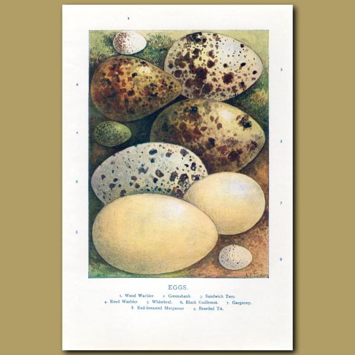 Eggs – Wood Warbler, Greenshank, Sandwich Tern: Genuine antique print for sale.