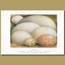 Eggs – Fork-tailed Petrel, Mute Swan, Grey-lag Goose