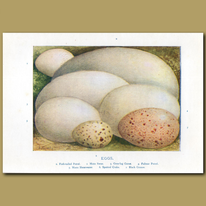 Eggs – Fork-tailed Petrel, Mute Swan, Grey-lag Goose: Genuine antique print for sale.