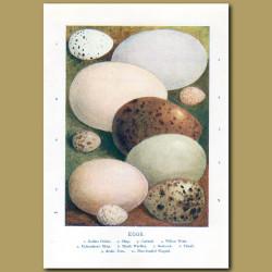 Eggs – Golden Oriole, Shag, Gadwall, Willow Wren